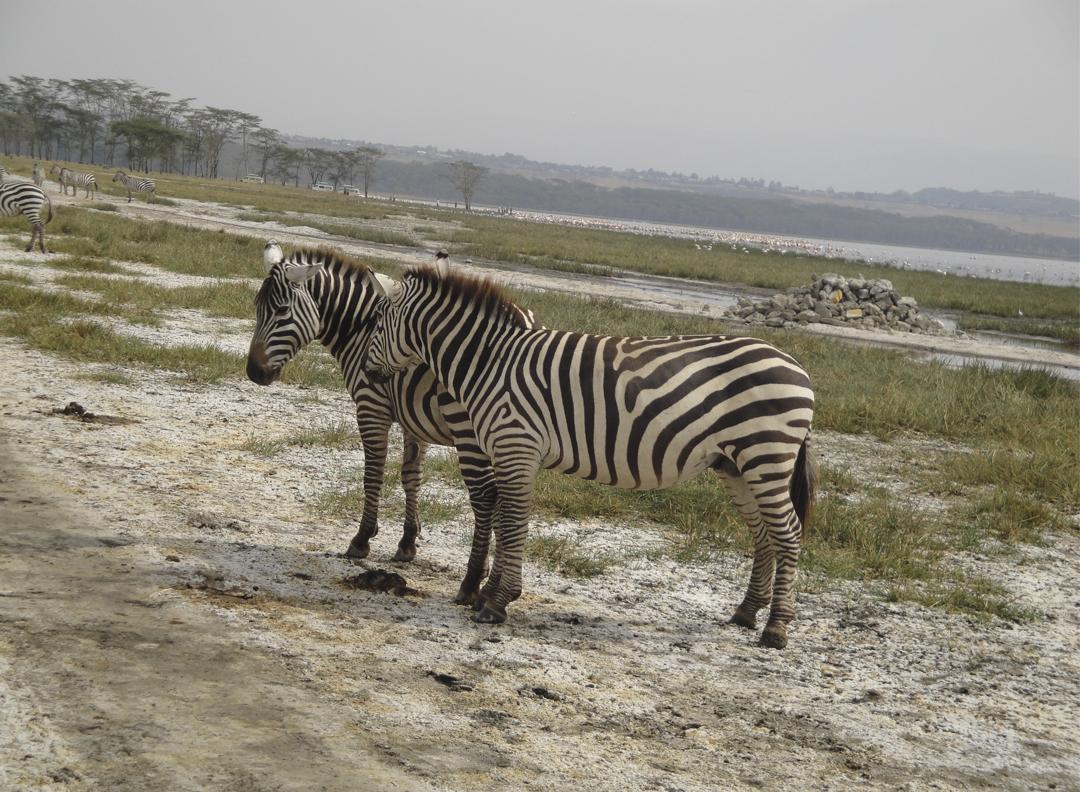 zebra_kenya
